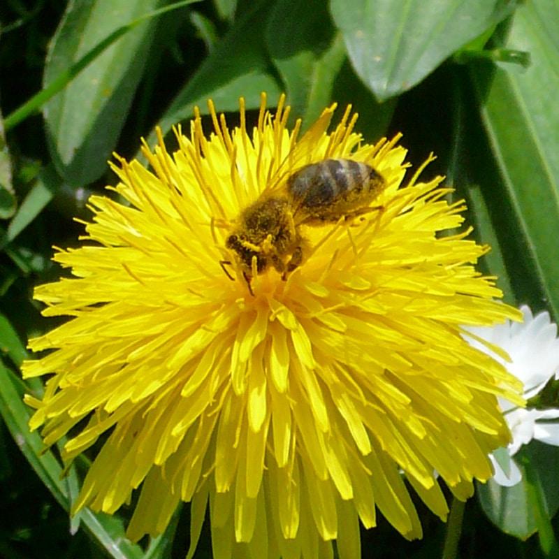 Biene auf Löwenzahn | Ferienhof Vogler in Fischen i. Allgäu